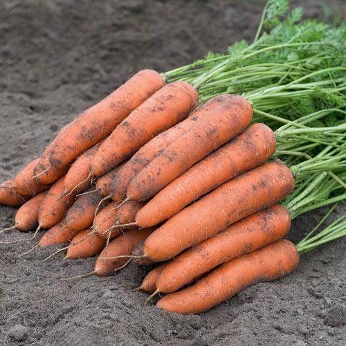 Berlin Hybrid Carrot Seed
