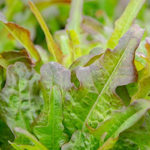 Bronze Beauty Leaf Lettuce