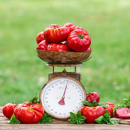 Buffalosteak Hybrid Tomato