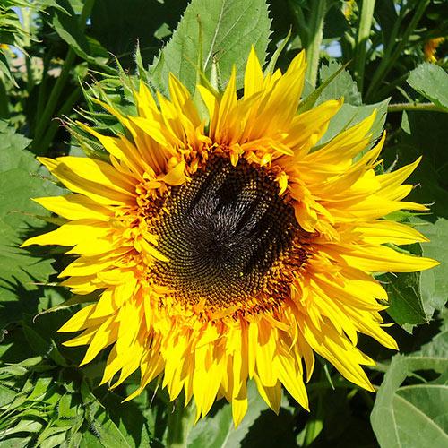 Starburst Panache Hybrid Sunflower