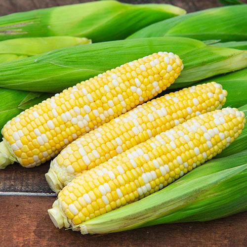 Temptress Hybrid Sweet Corn Seed