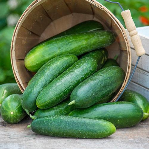 Ofelie Hybrid Slicing Cucumber Seed