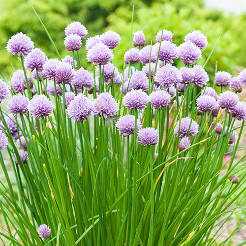 Chive Herb Seed