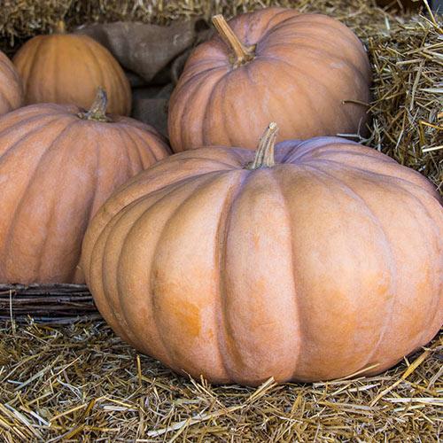 Autumn Buckskin Hybrid Pumpkin