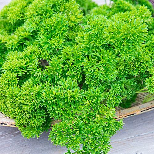Curled Parsley Herb Seed