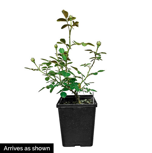 Smoke Rings™ Miniature Rose