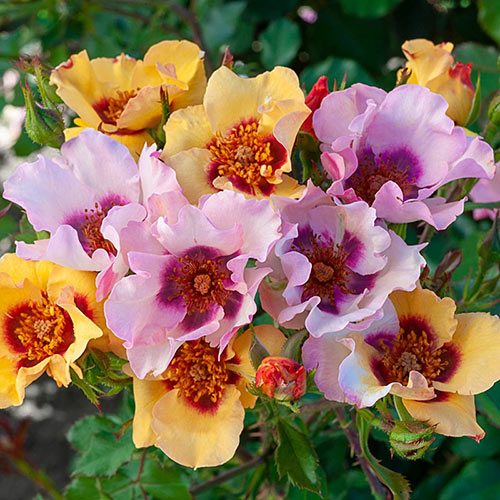 In Your Eyes<sup>™</sup> Shrub Rose