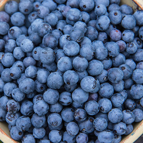Mini Blues Northern Highbush Blueberry