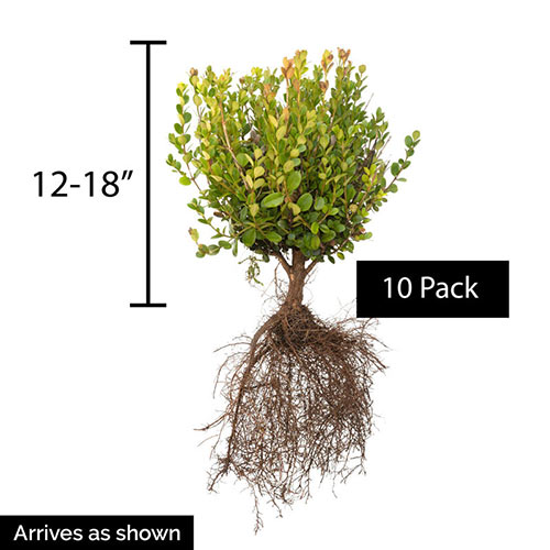 Winter Gem Boxwood Hedge