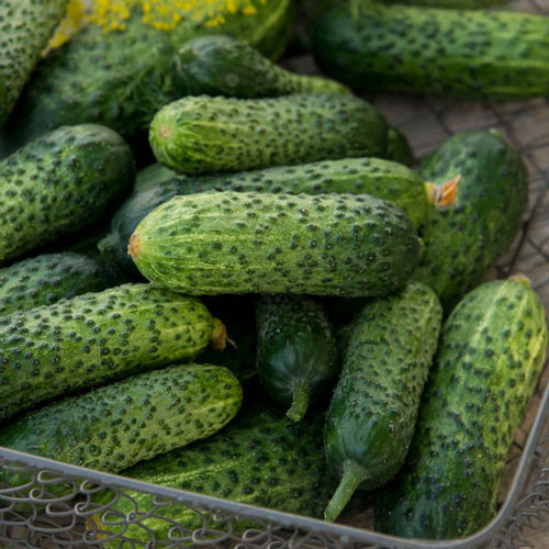 Gherking Pickler Hybrid Cucumber Seed