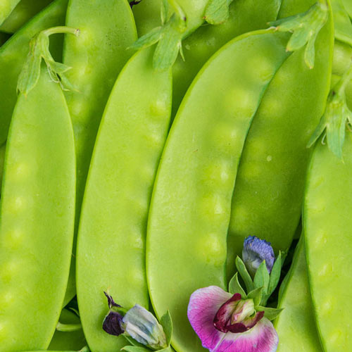 Green Beauty Snow Pea - Untreated Seed