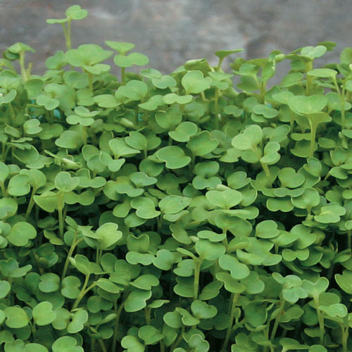 Organic Arugula Microgreens - Seed