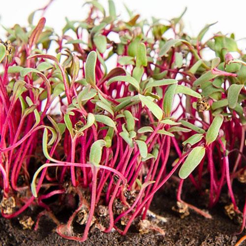 Organic Beet Microgreens - Seed