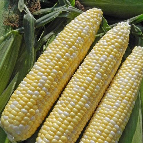 Allure Hybrid Sweet Corn Seed (sy)