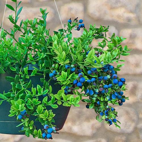 Midnight Cascade™ Hanging Basket Blueberry Plant