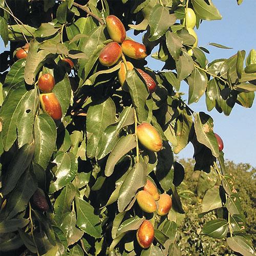 Super Sweet<sup>®</sup> Jujube Tree