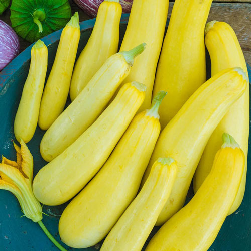 Smooth Criminal Hybrid Summer Squash Seeds Seed From Gurney S