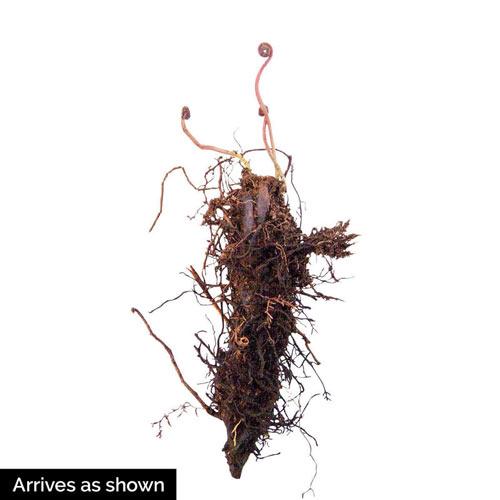 Ostrich Fern Plant