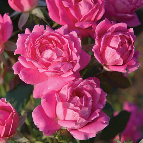 Pink Double Knock Out<sup>®</sup> Rose