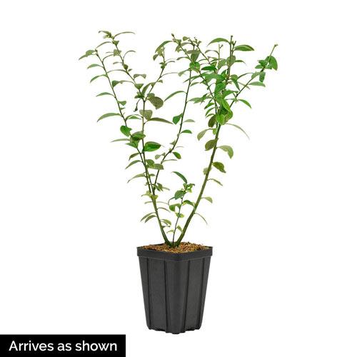 Echo Half-High Blueberry Plant