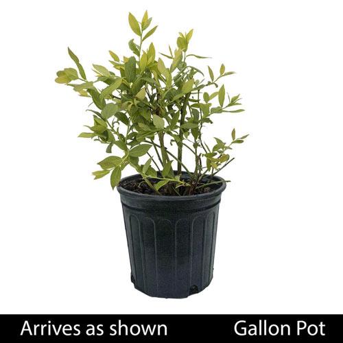 Dwarf Northsky Half-High Blueberry Plant