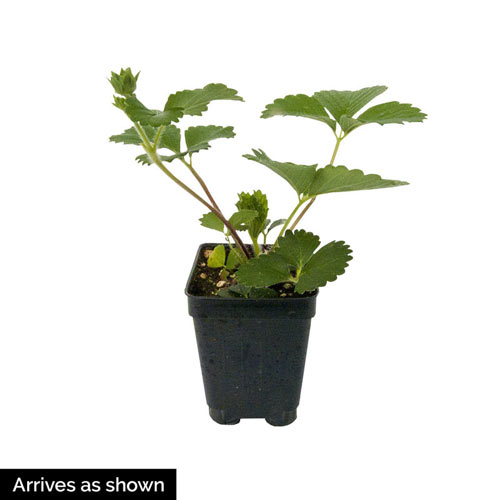 Ozark Beauty Strawberry Plant