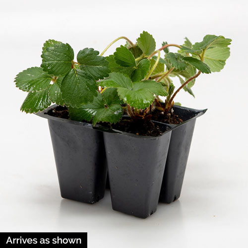 Gurney's<sup>®</sup> Whopper Strawberry Plant