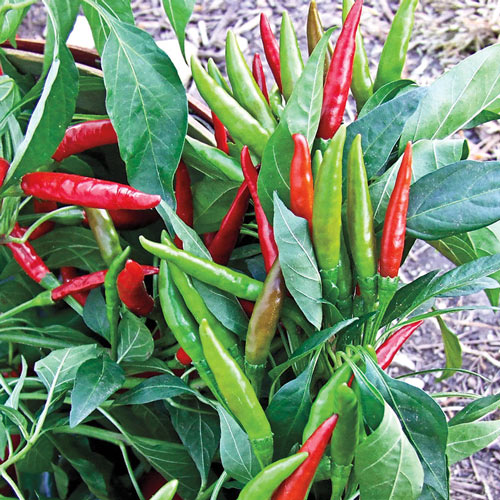 Thai Super Chili Hybrid Hot Pepper