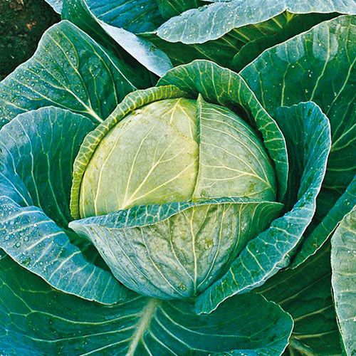 Megaton Hybrid Cabbage Seed