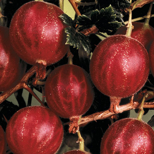 Hinnomaki Red Gooseberry Plant
