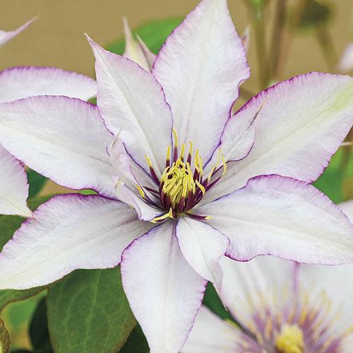 Samaritan Jo Clematis Plant