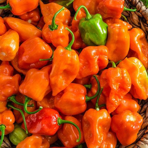 Scotchbonnet Orange Hot Pepper
