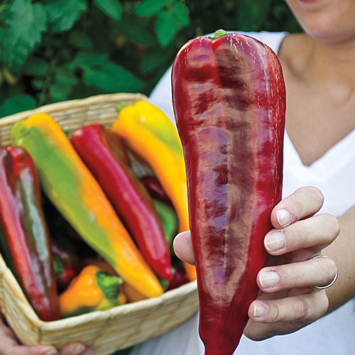 Double Delight Hybrid Sweet Pepper