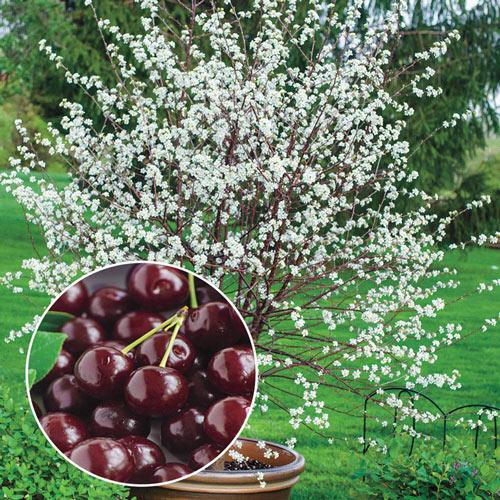 Romeo Dwarf Cherry Tree Gurney S Seed Nursery Co