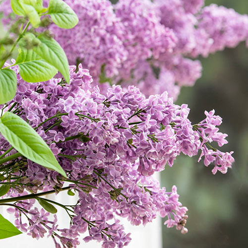 Rosie Beach Party™ Lilac Plant
