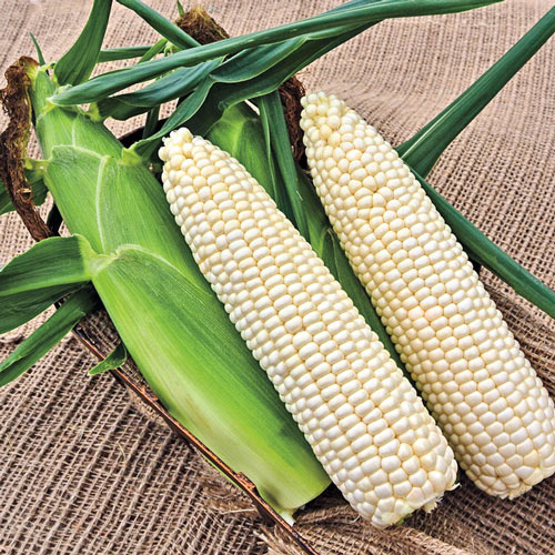 Glacial Hybrid Sweet Corn Seed (sh2)