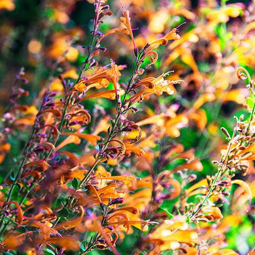 Tango Hummingbird Mint Plant