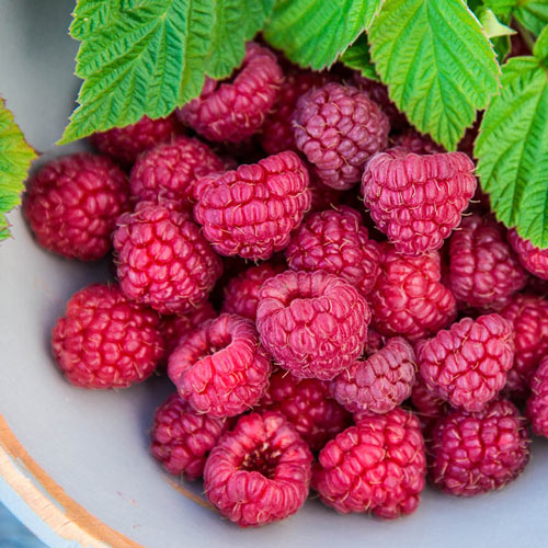 Nova Raspberry Plant