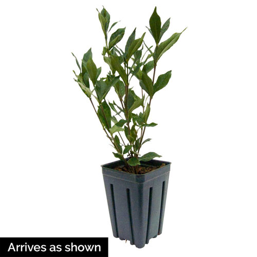 Double Mint Gardenia Plant