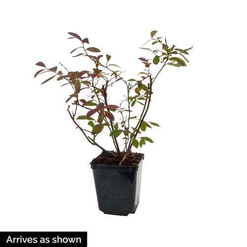 Perpetua™ Blueberry Plant