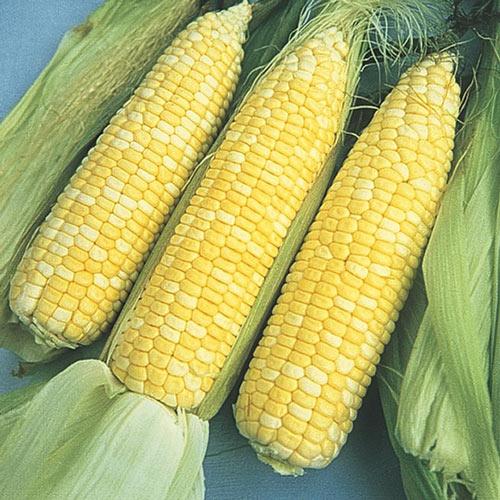 Sugar Baby Hybrid Sweet Corn Seed (se)