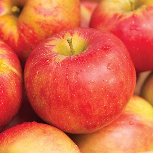 Nova Spy Apple Tree