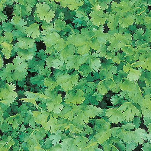 Coriander / Cilantro Herb — Plant