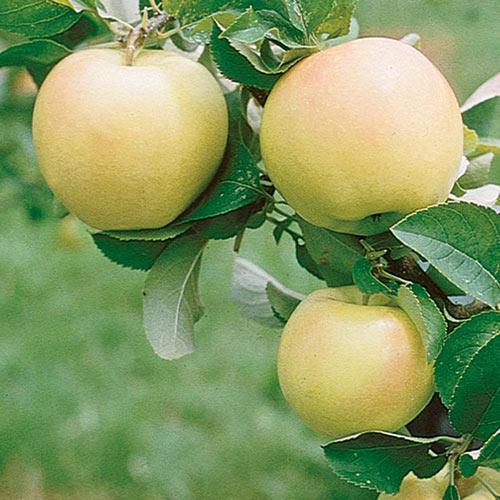 Pristine Apple Tree