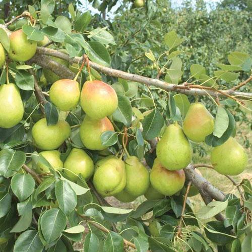 Crisp 'n Sweet™ Pear Tree