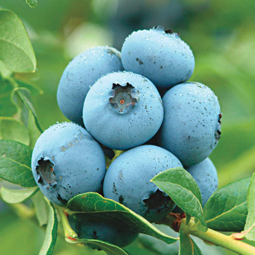 Semi-Dwarf Northland Northern Highbush Blueberry Plant