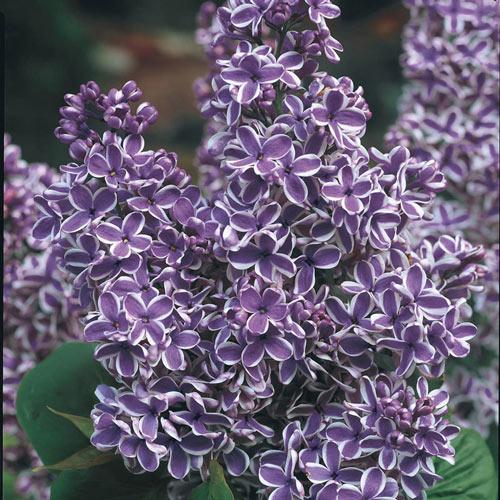 Sensation Lilac Plant
