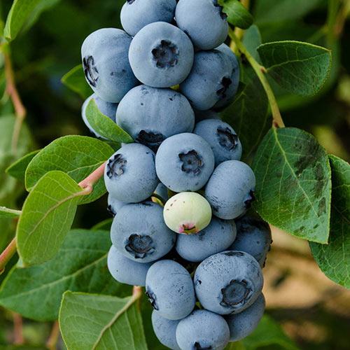 Legacy Blueberry Hedge