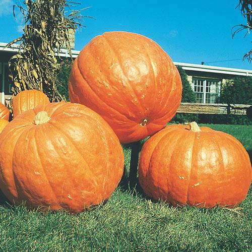 Big Max Pumpkin Seed