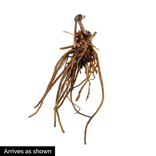Spiderwort Plant Mix